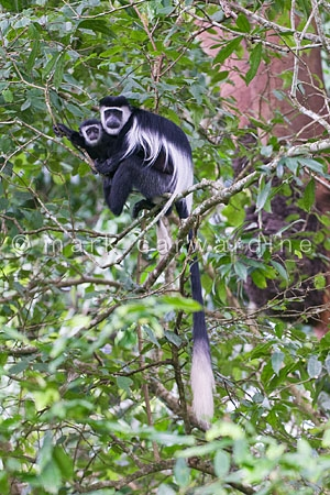 Black and white colobus monkeys (Colobus guereza) - mother and b