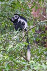 Click to see details of Black and white colobus monkeys (Colobus guereza) - mother and b
