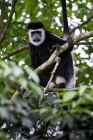 Click to see details of Black and white colobus monkey (Colobus guereza)