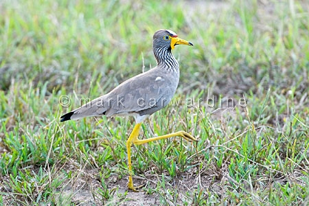 Wattled plover or wattled lapwing (Vanellus senegallus)