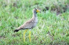 Click to see details of Wattled plover or wattled lapwing (Vanellus senegallus)