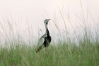 Click to see details of Black-bellied bustard or korhaan (Eupodotis melanogaster)