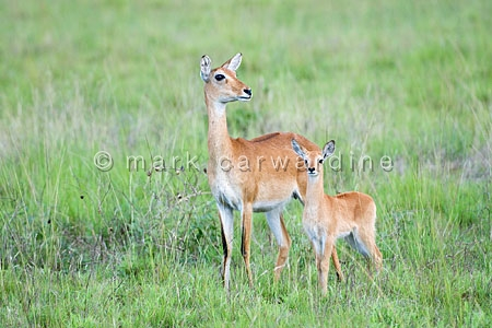 Uganda kob (Kobus kob thomasi) - mother and calf