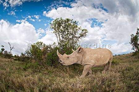 Southern white or square-lipped rhinoceros (Ceratotherium simum