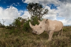 Click to see details of Southern white rhinoceros (Ceratotherium simum simum)