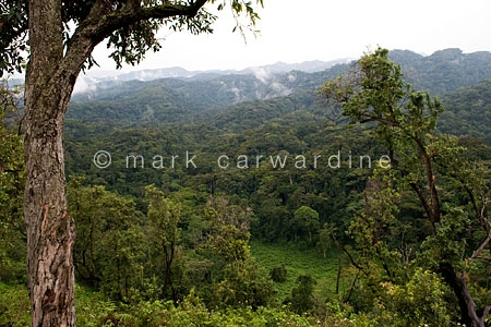 Rainforest or jungle in Bwindi Impenetrable Forest, Uganda