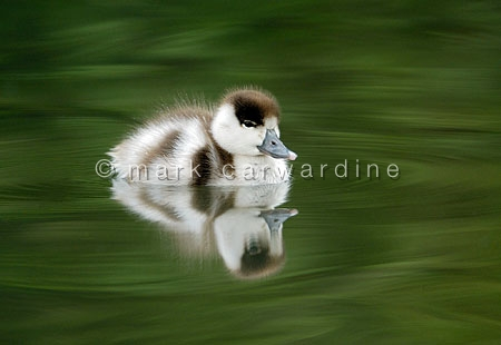 Common shelduck (Tadorna tadorna) duckling