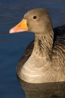 Click to see details of Greylag goose (Anser anser)