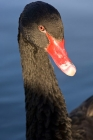 Click to see details of Black swan (Cygnus atratus)