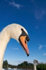 Click to see details of Mute swans (Cygnus olor)