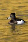 Click to see details of Tufted duck (Aythya fuligula) - male in golden reflection