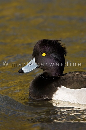 Tufted duck (Aythya fuligula) - male in golden reflection