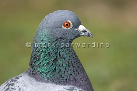 Feral pigeon (Columba livia) showing very similar plumage to roc