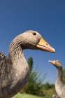 Click to see details of Greylag goose / geese (Anser anser)