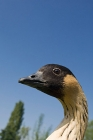 Click to see details of Hawaiian goose or nene (Branta sandvicensis)