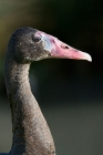 Click to see details of Black spur-winged goose (Plectropterus gambensis niger)