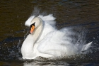Click to see details of Mute swan (Cygnus olor) - cleaning