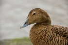 Click to see details of Common eider duck (Somateria mollissima) - female