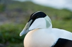 Click to see details of Common eider duck (Somateria mollissima) - male