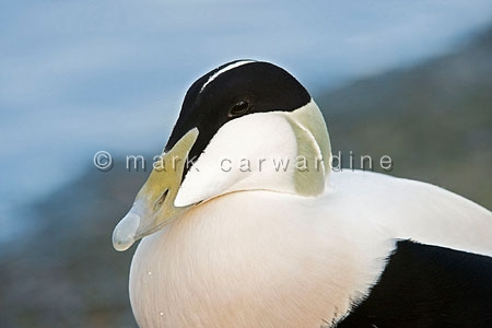 Common eider duck (Somateria mollissima) - male