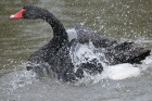 Click to see details of Black swan (Cygnus atratus) splashing and washing