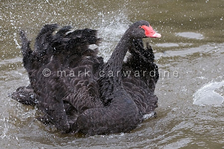 Black swan (Cygnus atratus) splashing and washing