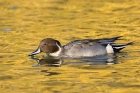 Click to see details of Northern pintail duck (Anas acuta) - male in golden reflection