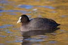 Click to see details of Eurasian coot (Fulica atra) in golden reflection