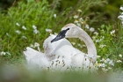 Click to see details of Trumpeter swan (Cygnus buccinator)