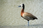 Click to see details of White-faced whistling duck (Denrocygna viduata)