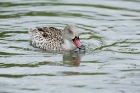 Click to see details of Cape teal (Anas capensis)