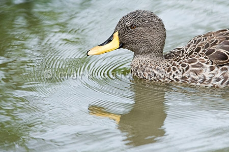 Yellow-billed pintail duck (Anas georgica)