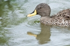Click to see details of Yellow-billed pintail duck (Anas georgica)