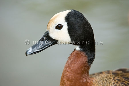White-faced whistling duck (Denrocygna viduata)