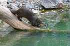 Click to see details of Northern or North American river otter (Lontra canadensis)