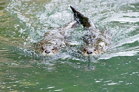 Northern or North American river otters (Lontra canadensis)
