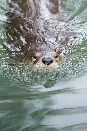 Northern or North American river otter (Lontra canadensis)