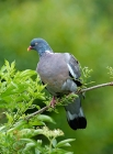 Click to see details of Wood pigeon / woodpigeon (Columba palumbus)