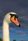 Click to see details of Mute swan (Cygnus olor)