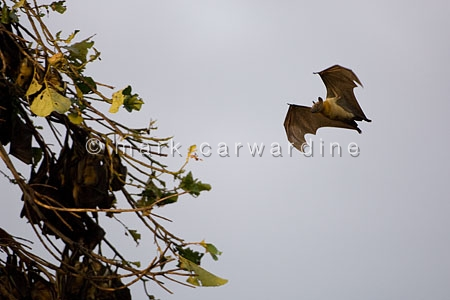 Straw-coloured fruit bats (Eidolon helvum)