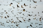 Click to see details of Straw-coloured fruit bats (Eidolon helvum)