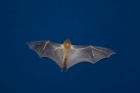 Click to see details of Straw-coloured fruit bat (Eidolon helvum)