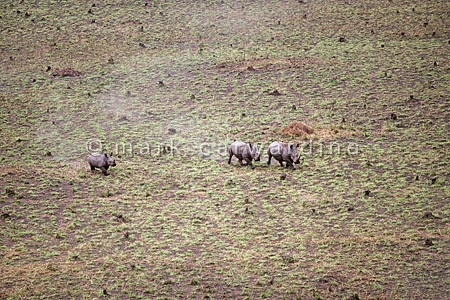 Northern white rhinos with calf (Ceratotherium simum cottoni) -