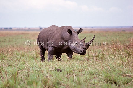 Northern white rhino (Ceratotherium simum cottoni) - now probabl