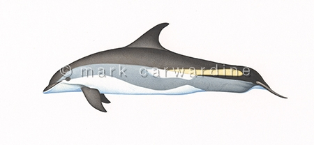 Atlantic white-sided dolphin (Lagenorhynchus acutus)