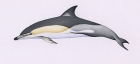 Click to see details of Short-beaked common dolphin (Delphinus delphis)