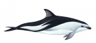 Click to see details of Dusky dolphin (Lagenorhynchus obscurus)