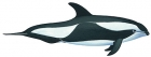 Click to see details of Hourglass dolphin (Lagenorhynchus cruciger)