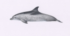 Click to see details of Atlantic spotted dolphin (Stenella frontalis)