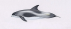Click to see details of White-beaked dolphin (Lagenorhynchus albirostris)